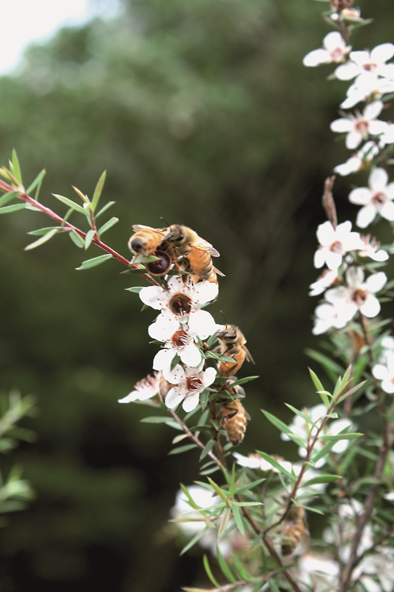 Manuka Honey - Professor Peter Molan